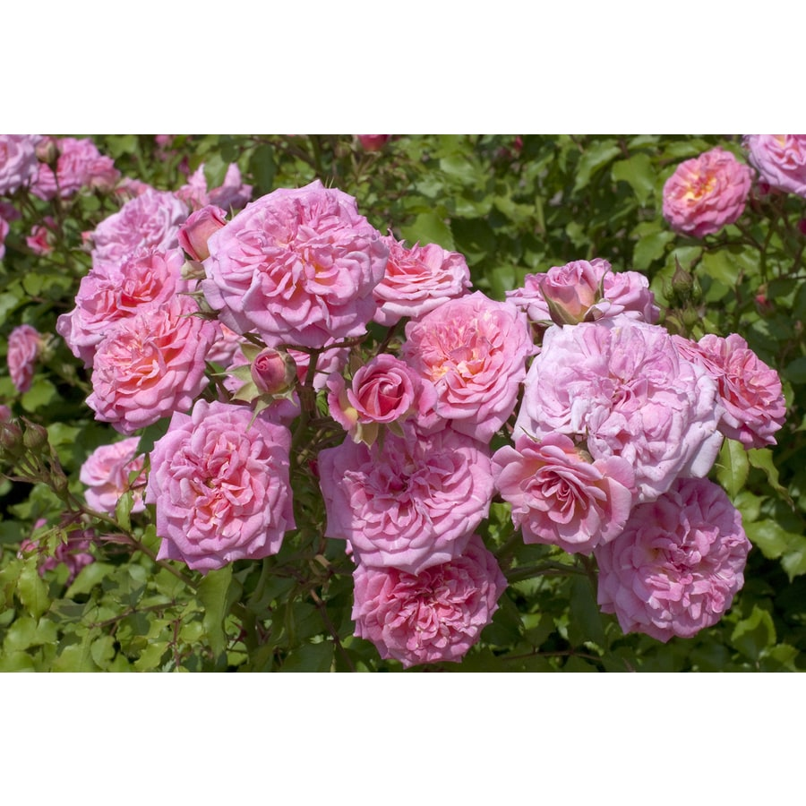 2-Gallon Pot Drift Rose Sweet