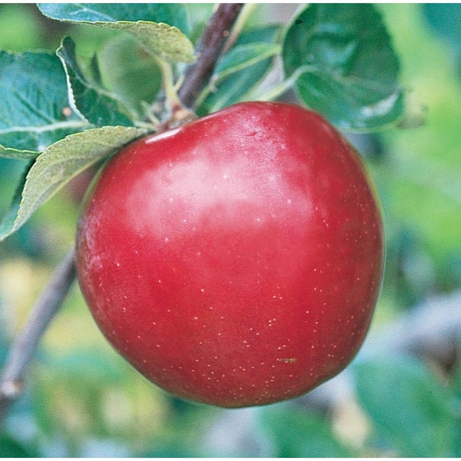 3.84-Gallon Red Baron Apple Tree (L26378)