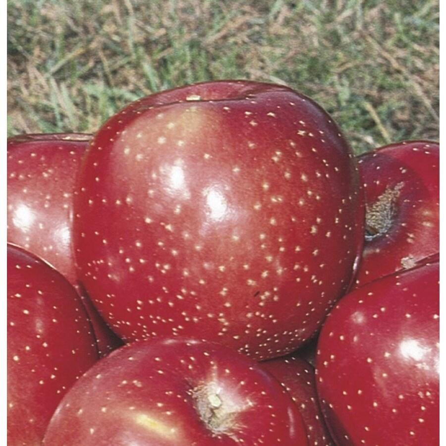 3.84-Gallon Haralred Apple Tree (LFT006)
