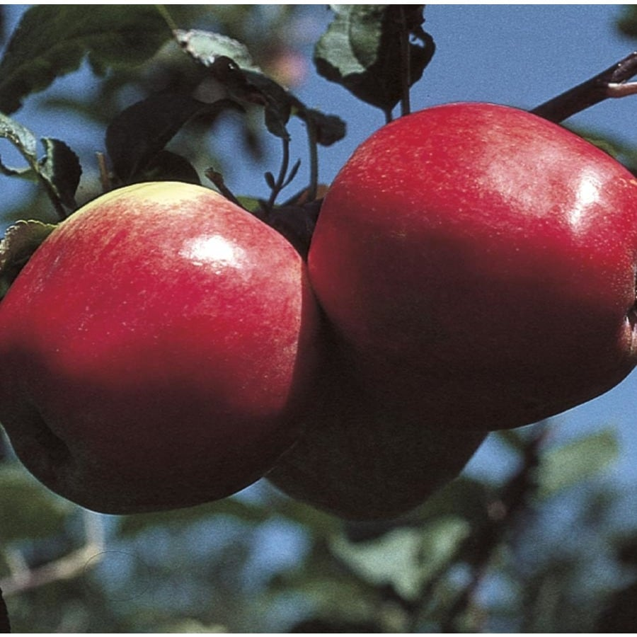 3.84-Gallon Norland Apple Tree (L16601)