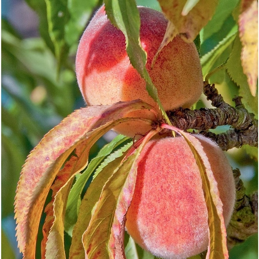 3.84-Gallon Contender Peach Tree (L25162)