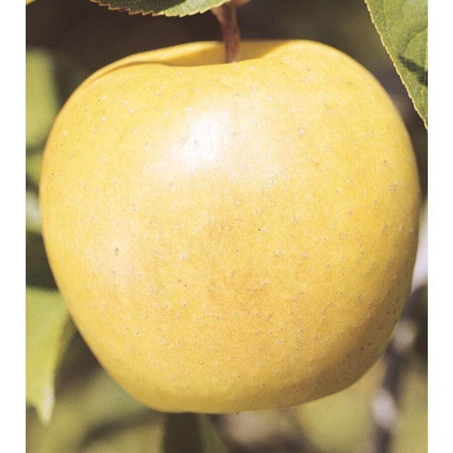 3.84-Gallon Yellow Delicious Apple Tree (L3207)