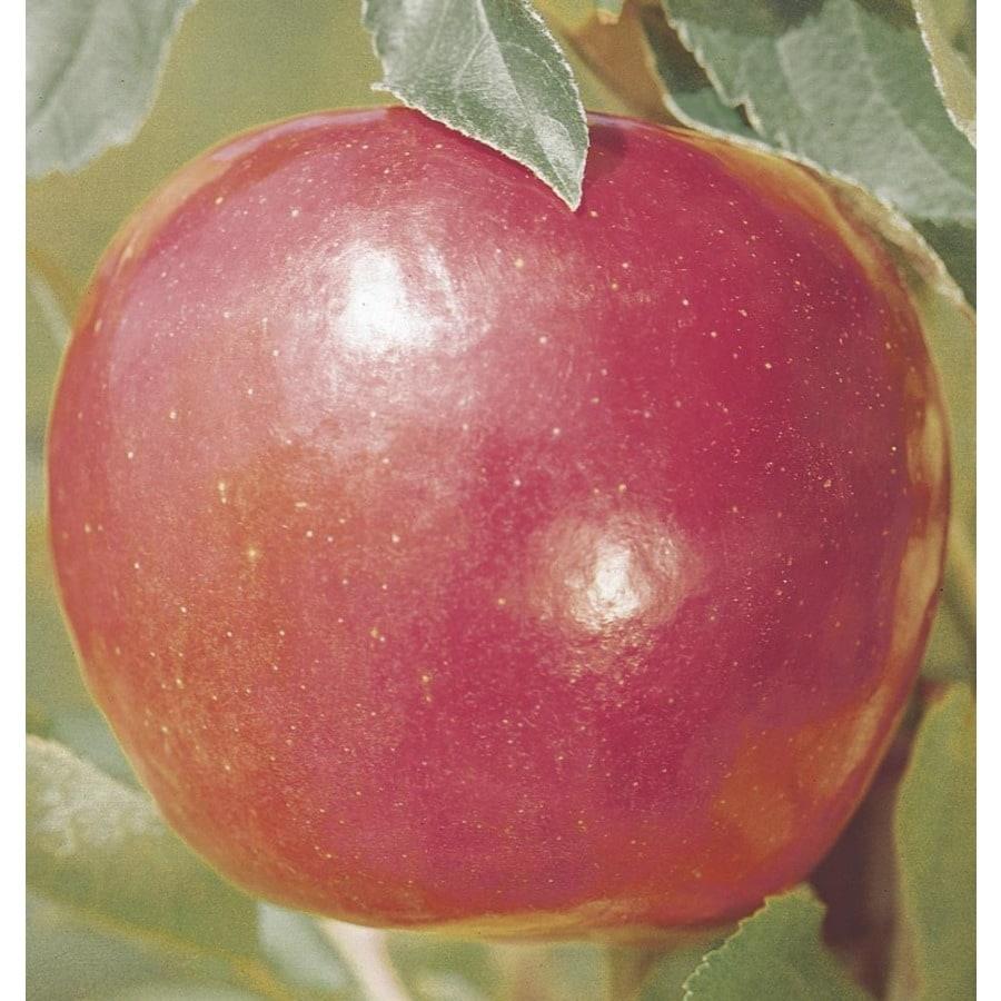 3-Gallon Jonathan Apple Tree (L3201)