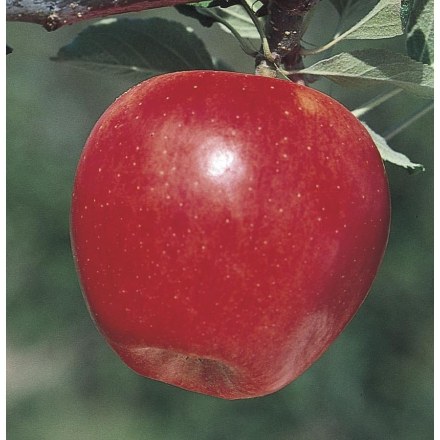 3.84-Gallon Gala Apple Tree (L4520)