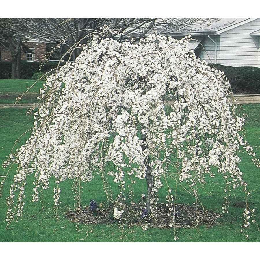 8.99-Gallon Weeping Snow Fountain Cherry Feature Tree (L7207)