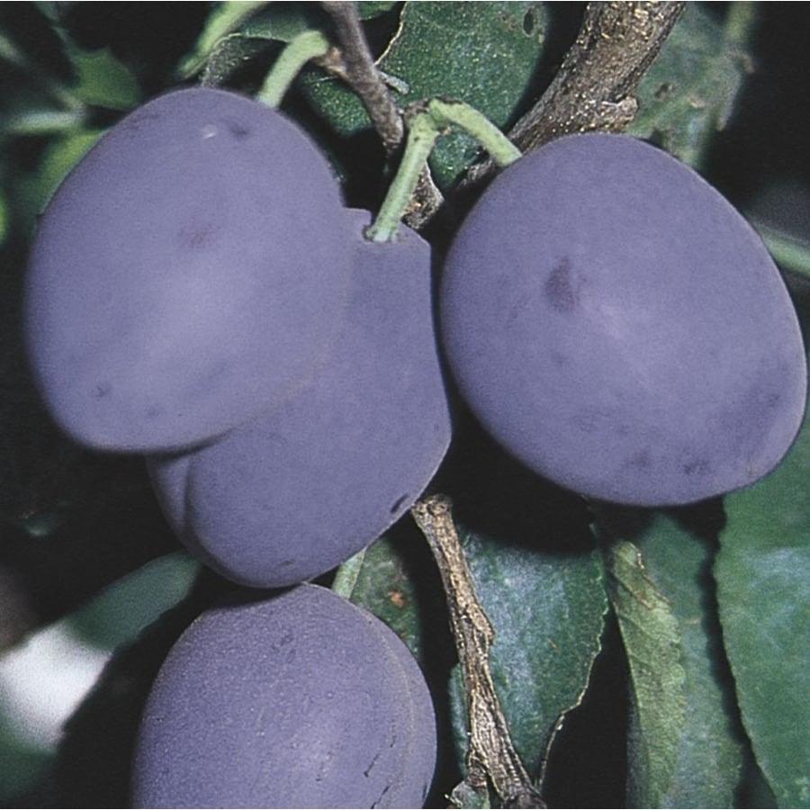 3-Gallon Italian Prune Plum Tree (L10528)