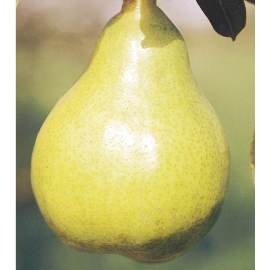 3.84-Gallon Bartlett Pear Tree (L1386)