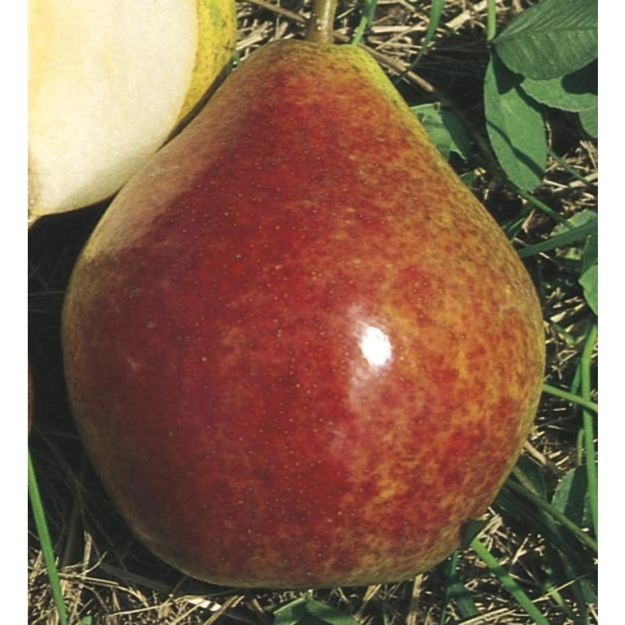 3.84-Gallon Summercrisp Pear Tree (L25543)