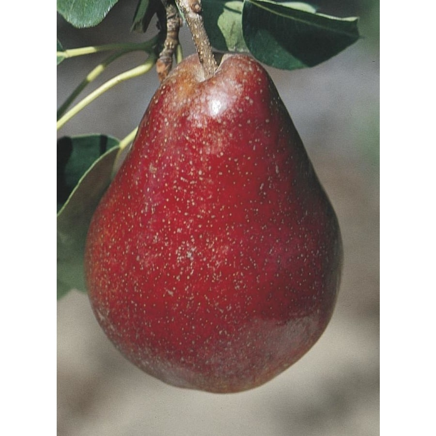 3.84-Gallon Red Bartlett Pear Tree (L11881)