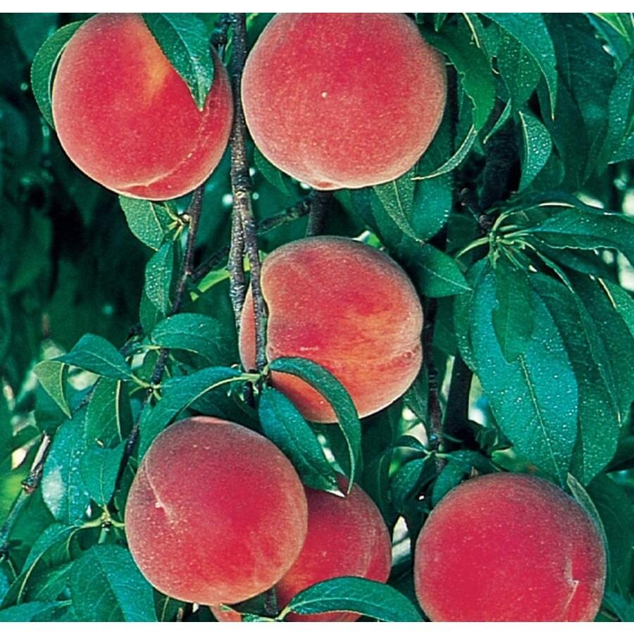 3.84-Gallon Redstar Peach Tree (L24825)