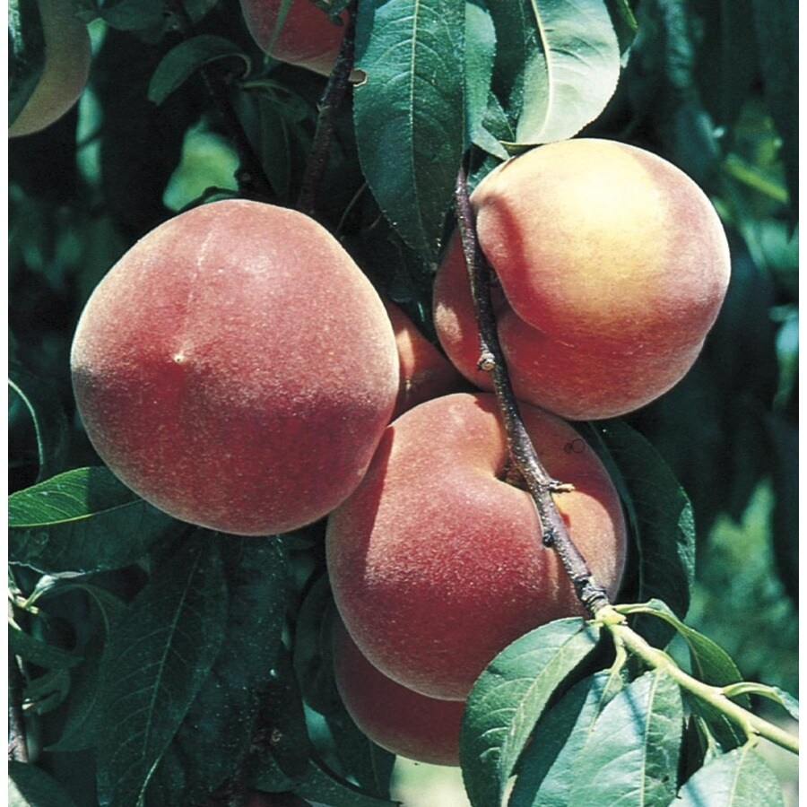 3.84-Gallon Early ELBerta Peach Tree (L1331)