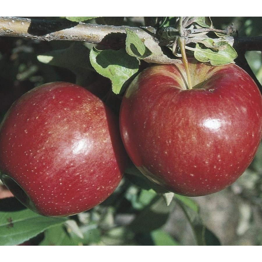 3.8-Gallon Sweet Sixteen Apple Tree (LW02664)
