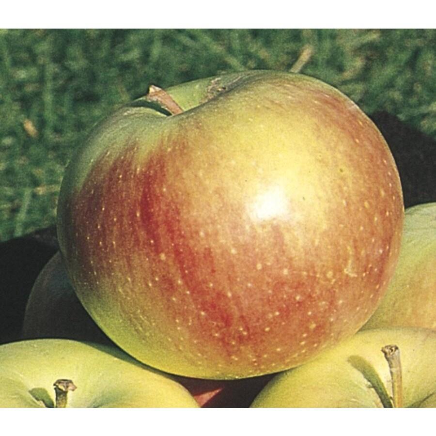 3.84-Gallon Wealthy Apple Tree (L4233)