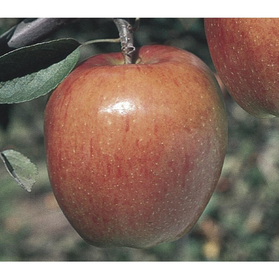 3-Gallon Braeburn Apple Tree (L7674)