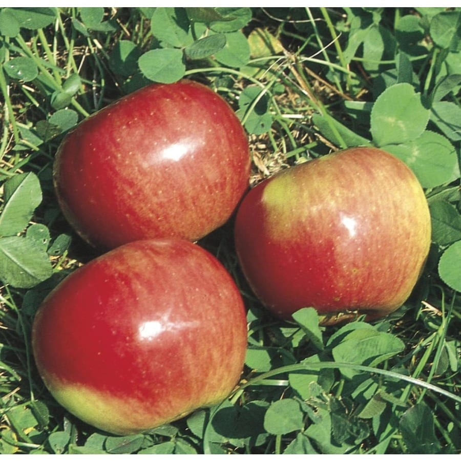 3-Gallon State Fair Apple Tree (L16602)