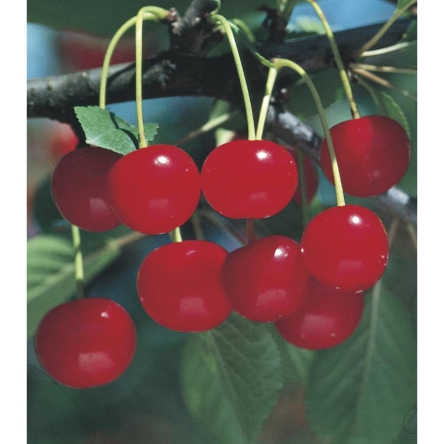 3.8-Gallon Meteor Cherry Tree (L7314)
