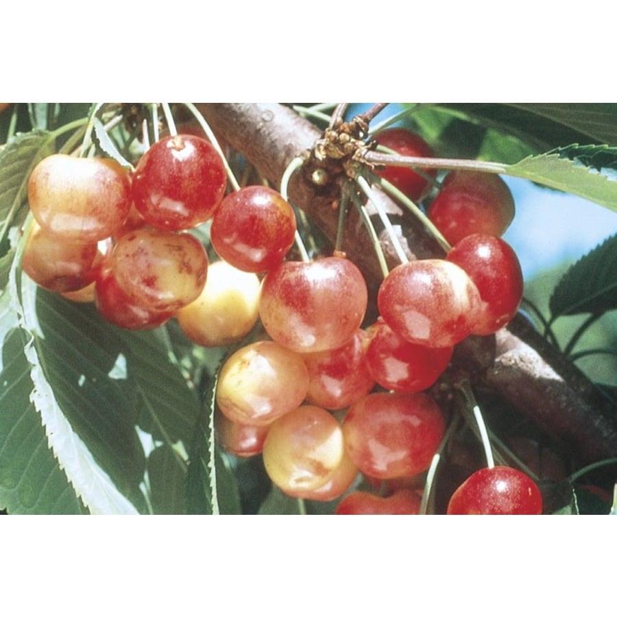 3.8-Gallon Rainier Cherry Tree (L10480)