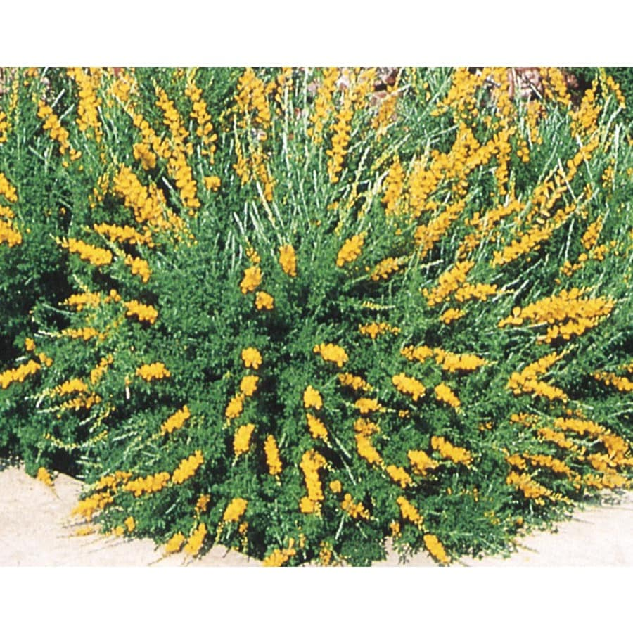 3.43-Gallon Orange Sweet Broom Accent Shrub (L3064)