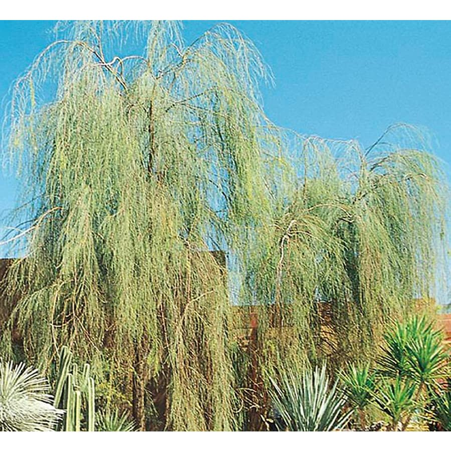 3.25-Gallon Shoestring Acacia Feature Tree (L9438)
