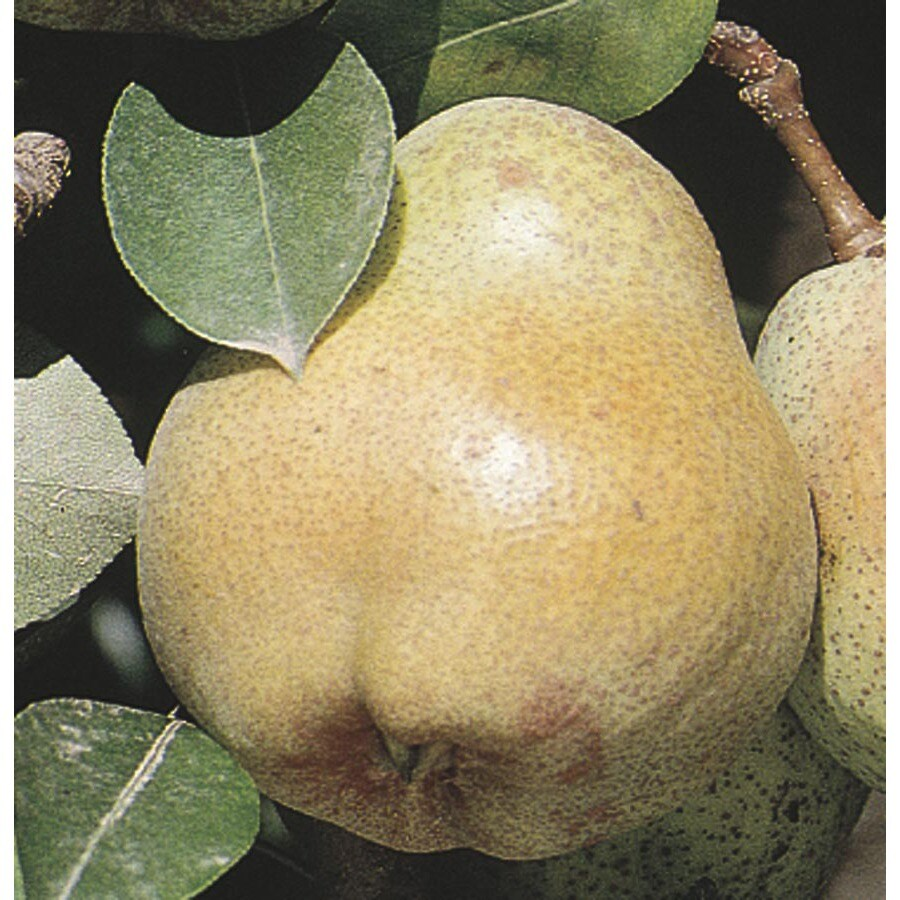 2.92-Gallon Shinseiki Ultra-Dwarf Asian Pear Tree (L22686)