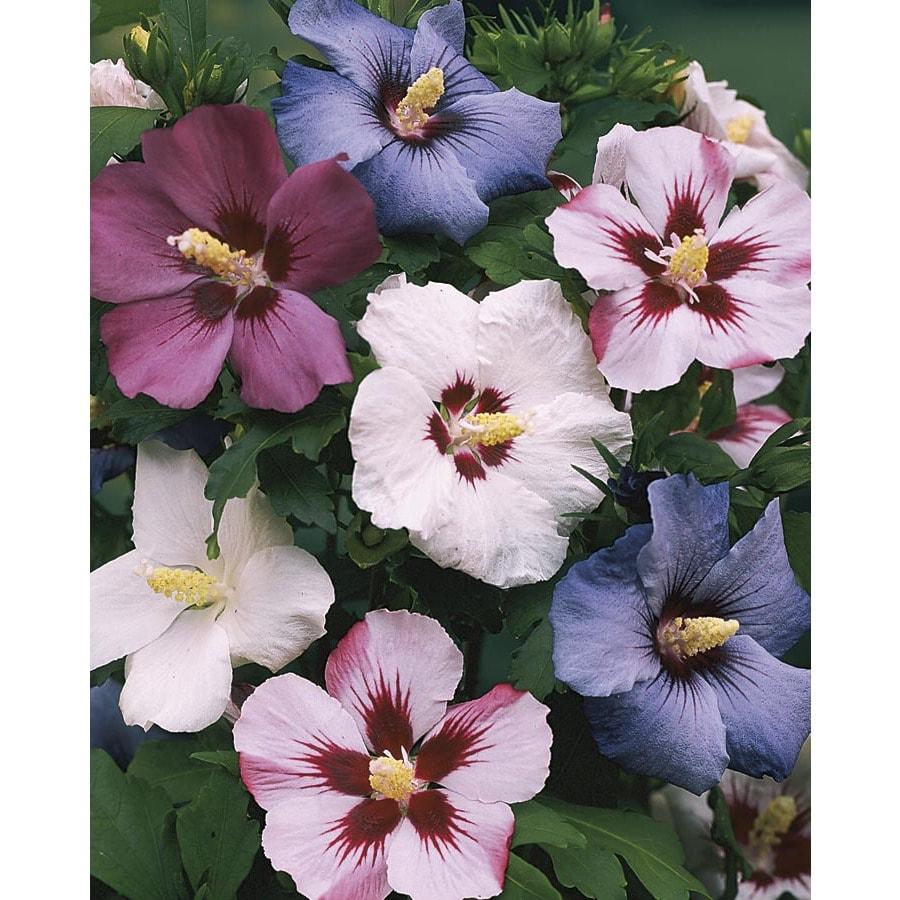 1.6-Gallon Mixed Rose of Sharon Flowering Shrub (L1203)