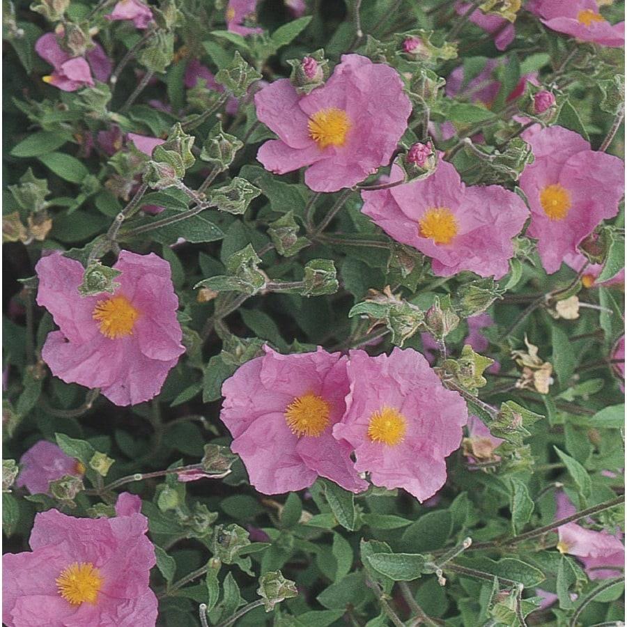 1.6-Gallon Pink Rock Rose Accent Shrub (L2450)