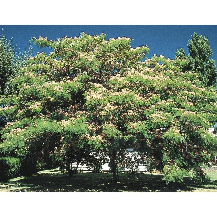 Shop 10 25 Gallon Mimosa Tree Flowering Tree L1103 At