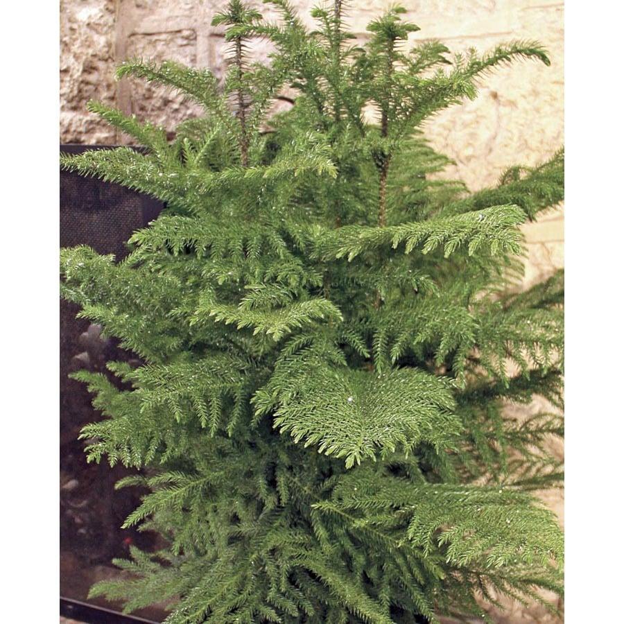 3.25-Gallon Norfolk Island Pine (L20960hp)