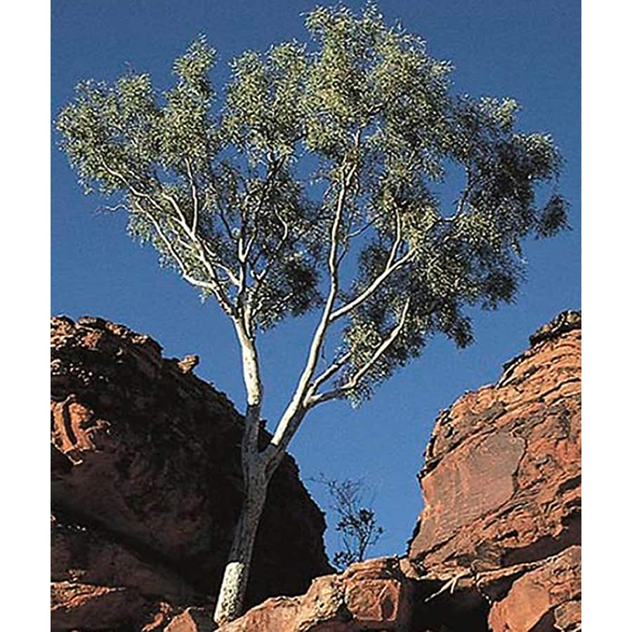 10.25-Gallon Eucalyptus Shade Tree (L14900)