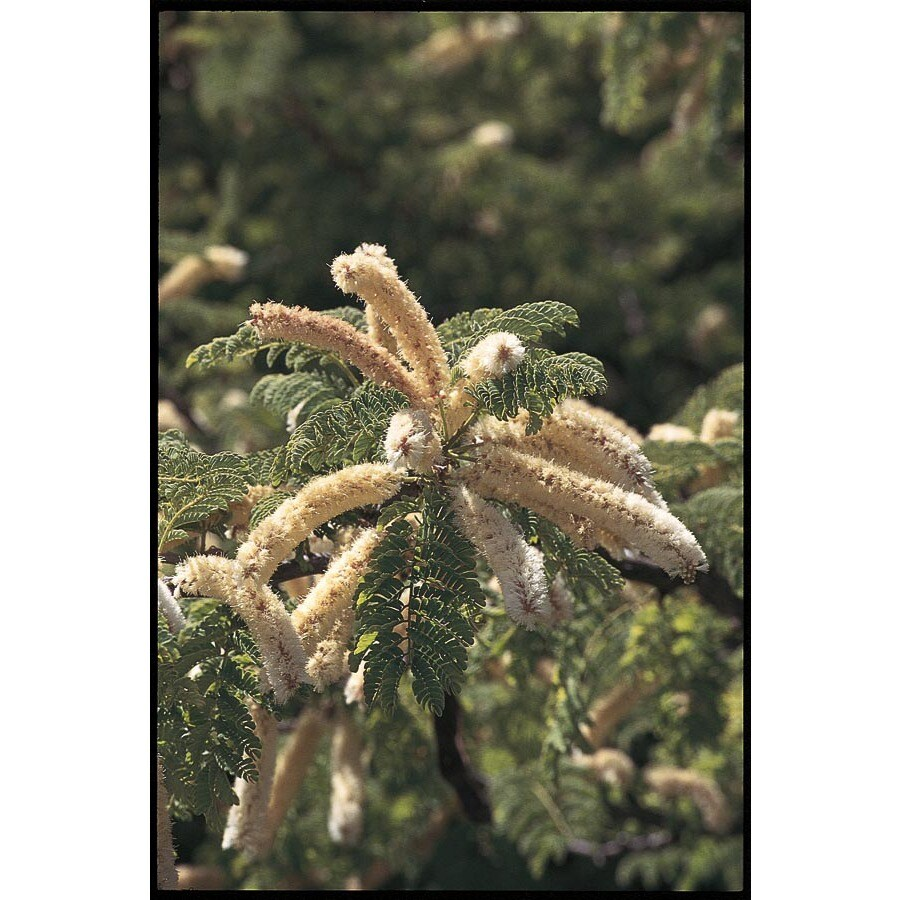 3.25-Gallon Honey Mesquite Feature Tree (L14932)