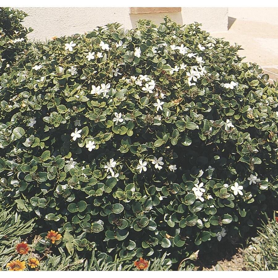 3.25-Gallon White Tuttle's Natal Plum Foundation/Hedge Shrub (L4669)