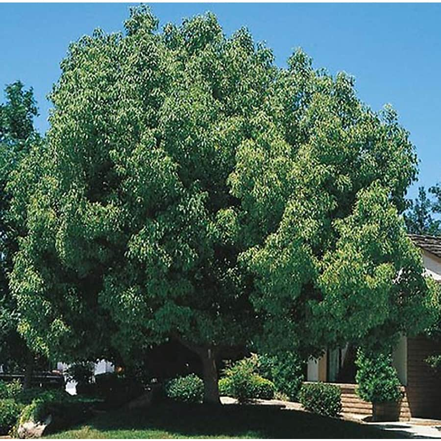 3.25-Gallon Camphor Tree Feature Tree (L9393)