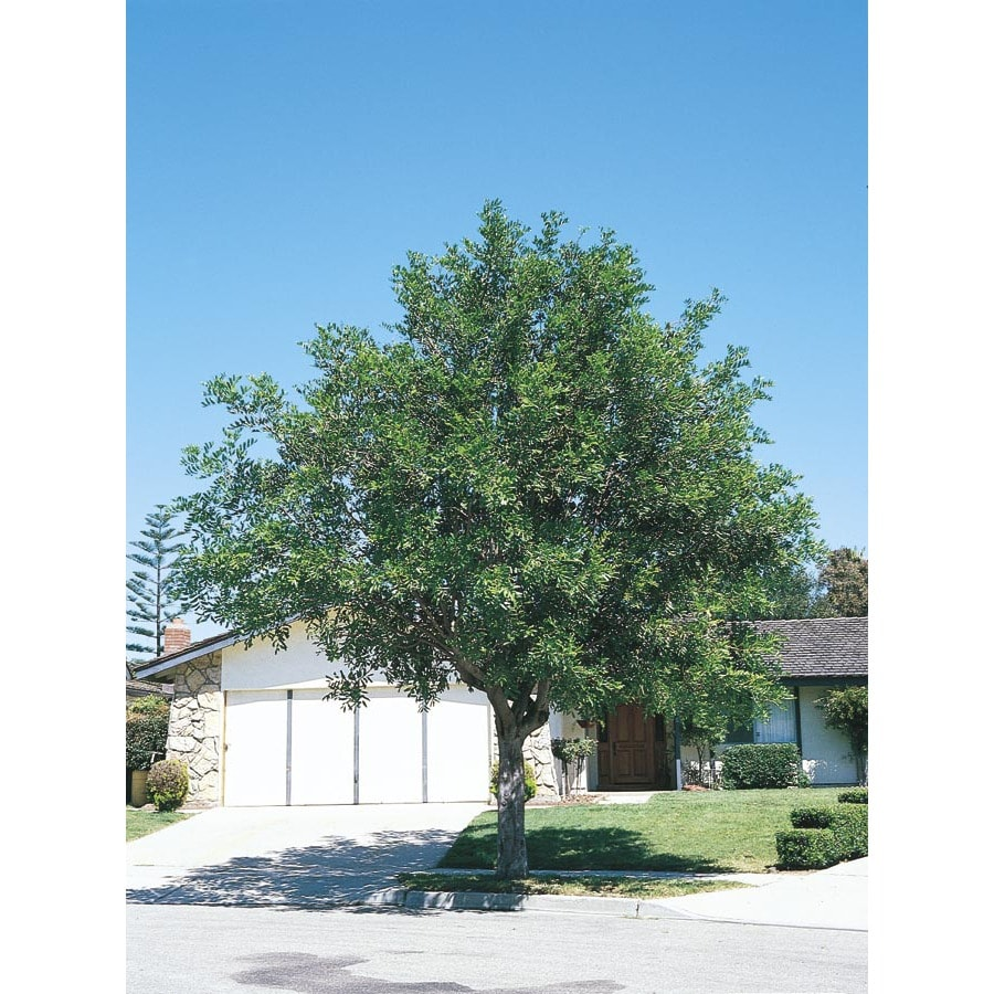 10.25-Gallon Carrotwood Tree Shade Tree (L9395)