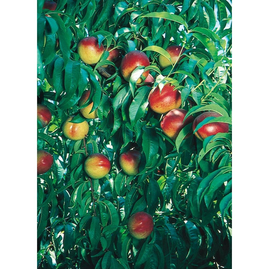 3.25-Gallon Desert Delight Nectarine Tree (L14935)