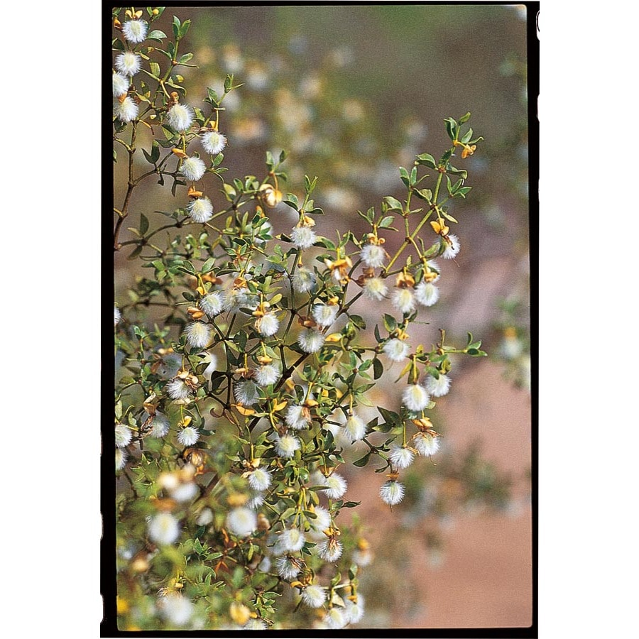 2.5-Quart Yellow Creosote Bush Accent Shrub (LW01710)