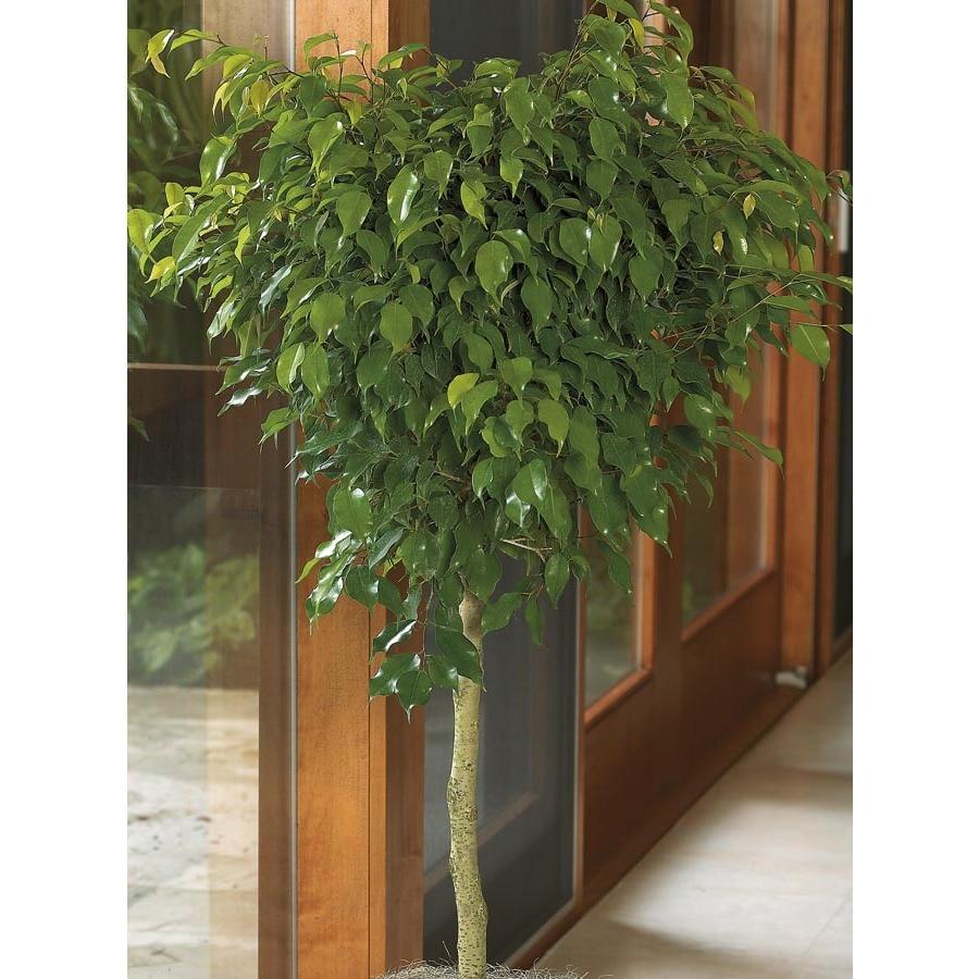 10.25-Gallon Benjamina Ficus (L20941hp)