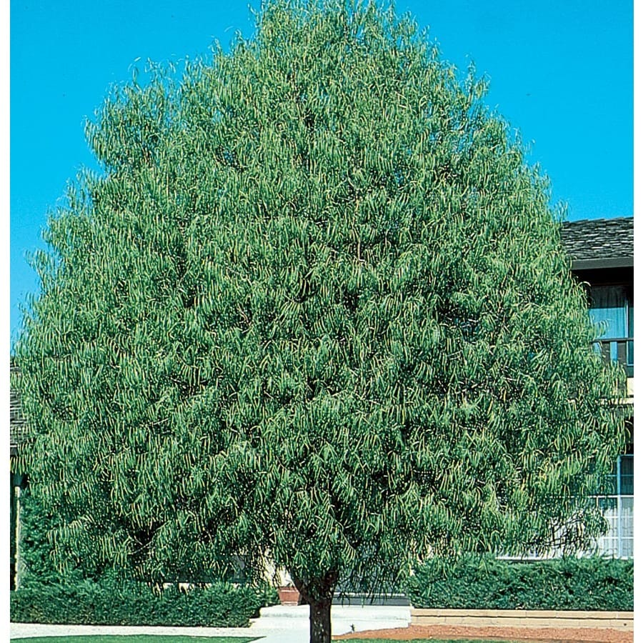 10.25-Gallon Australian Willow Shade Tree (L9406)