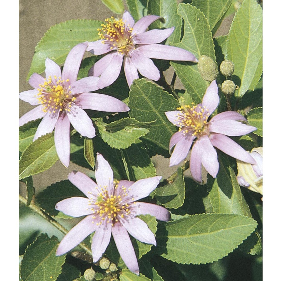 2.5-Quart Lavender Lavender Starflower Accent Shrub (L11725)