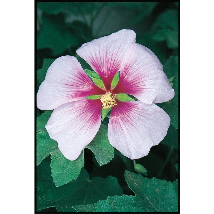 3.25-Gallon Bicolor Tree Mallow Flowering Shrub (L11741)
