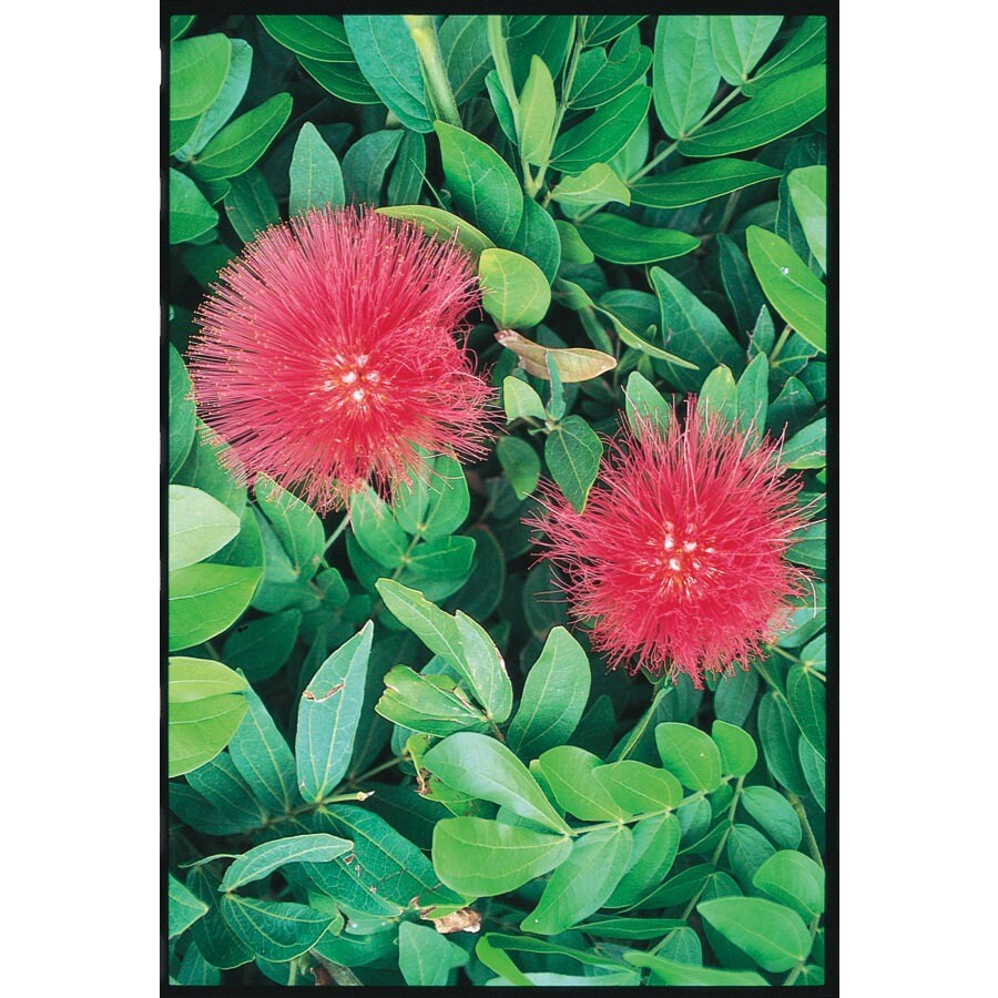 10.25-Gallon Red Baja Fairy Duster Accent Shrub (L11108)