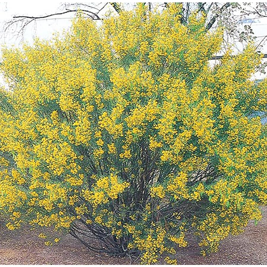 10.25-Gallon Yellow Desert Cassia Accent Shrub (L10717)
