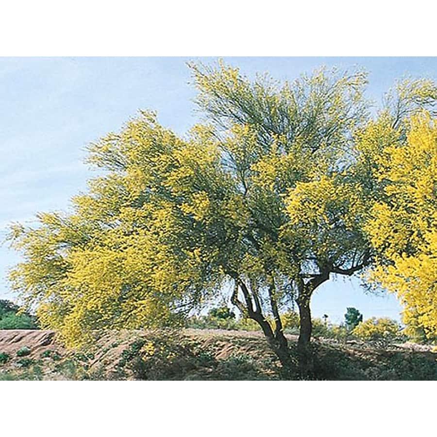 3.25-Gallon Blue Palo Verde Feature Tree (L4007)