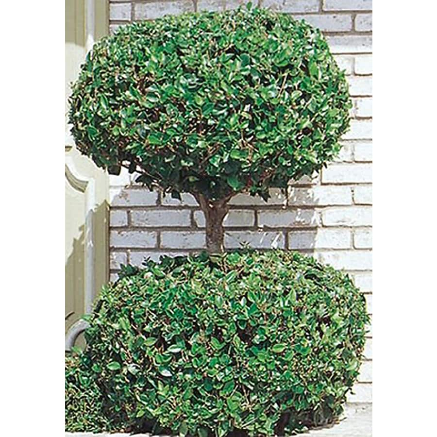 10.25-Gallon 2-Tier Poodle Waxleaf Ligustrum Feature Shrub (L11165)