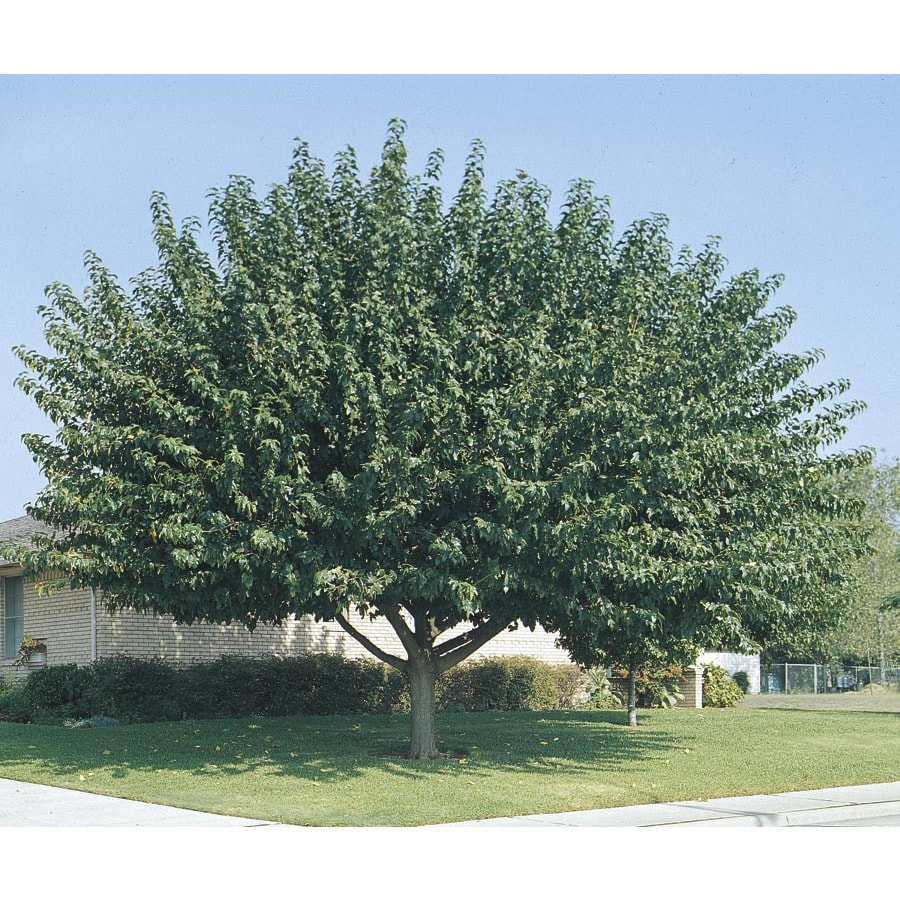 Shop 3 25 Gallon Fruitless Mulberry Shade Tree L3600 At