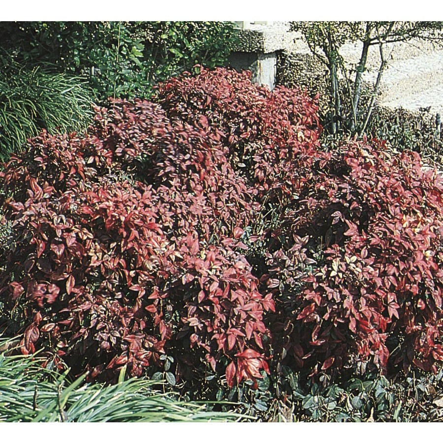3.25-Gallon Dwarf Heavenly Bamboo Accent Shrub (L9579)