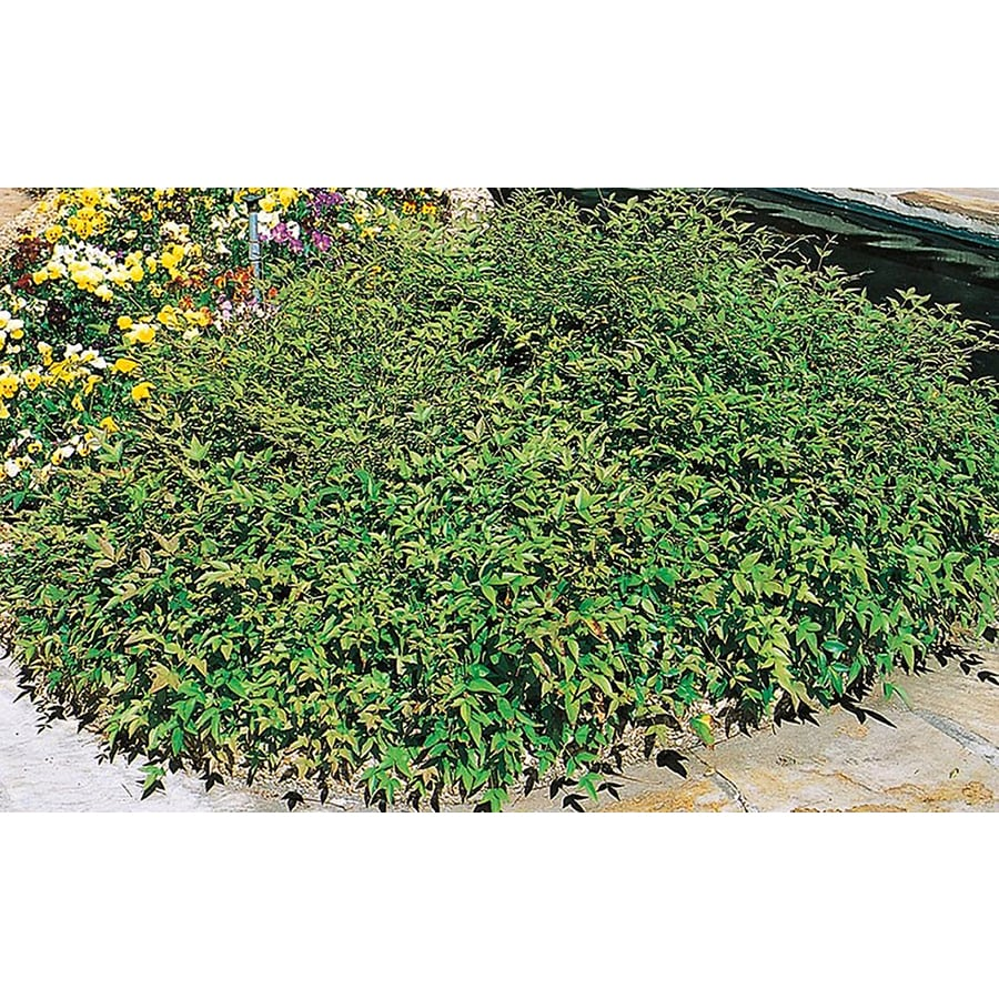 3.25-Gallon White Harbour Dwarf Nandina Accent Shrub (L4788)