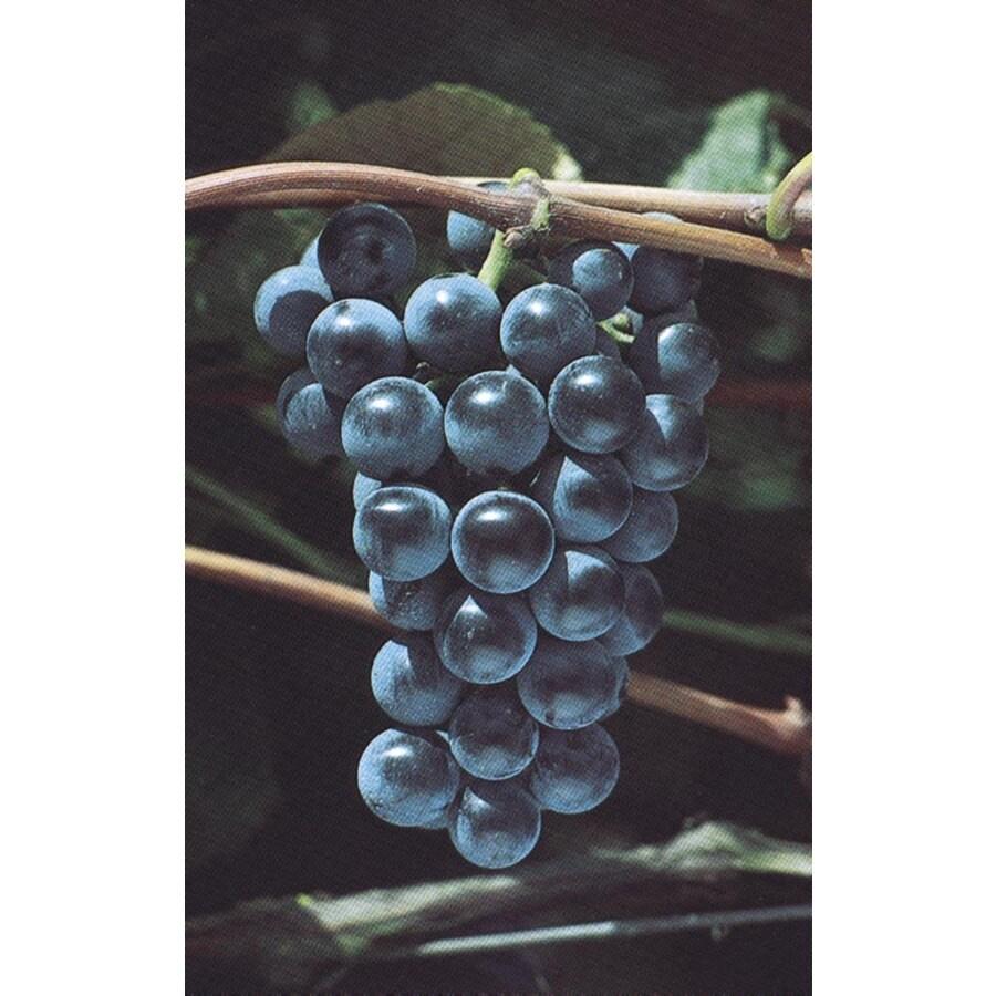 3.25-Gallon Grape Small Plant (L6358)