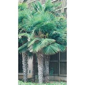 10.25 Gallon Chinese Windmill Palm (L8803)