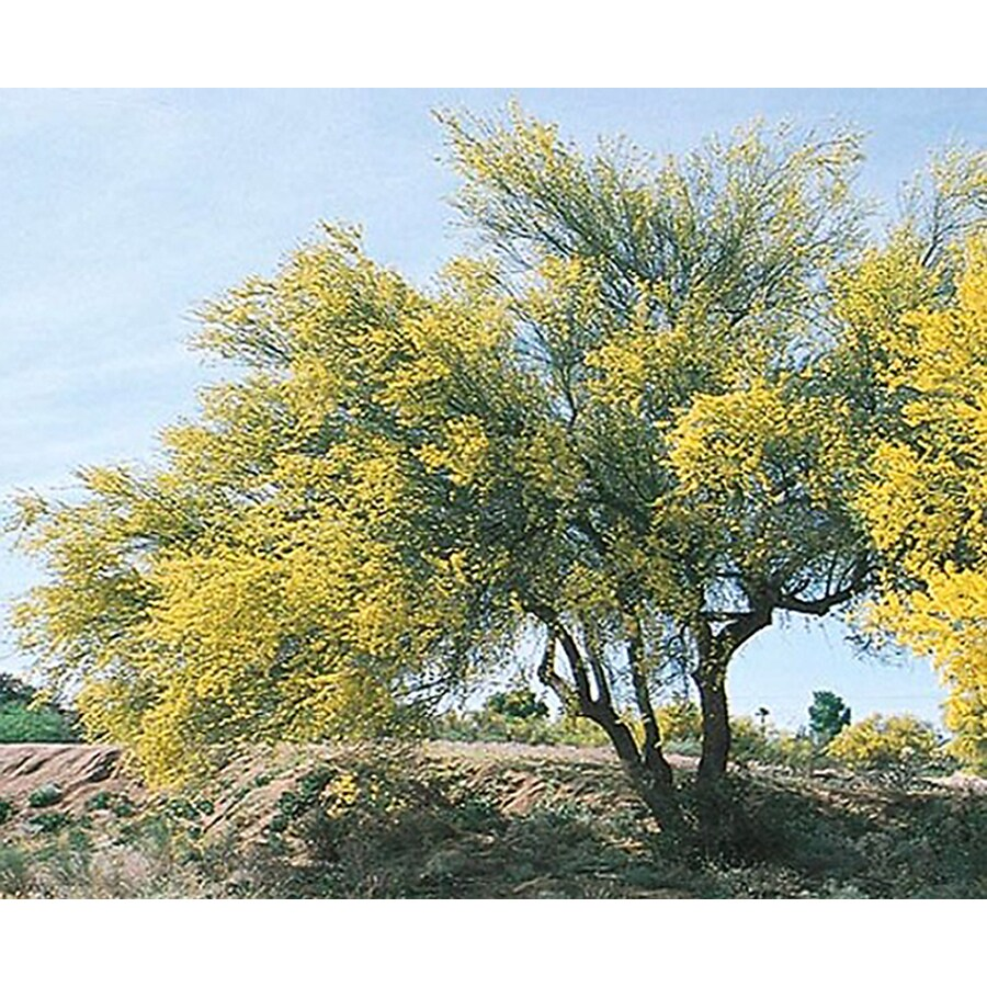 10.25-Gallon Blue Palo Verde Feature Tree (L4007)