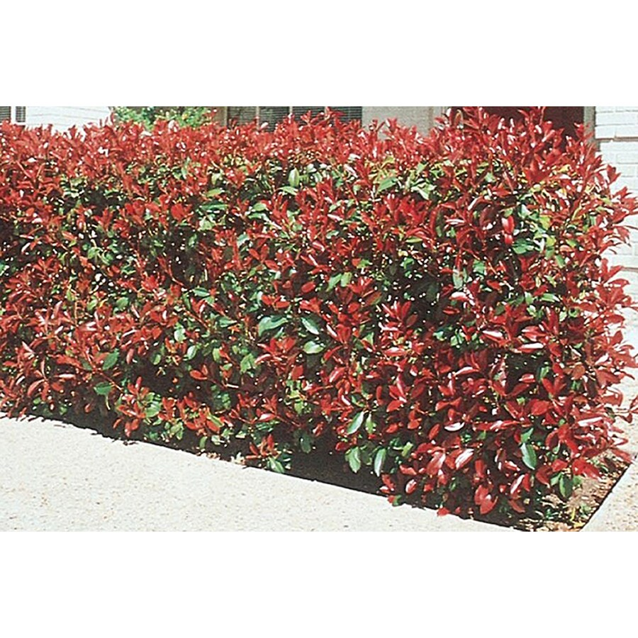 10.25-Gallon White Red Tip Photinia Screening Shrub (L3049)